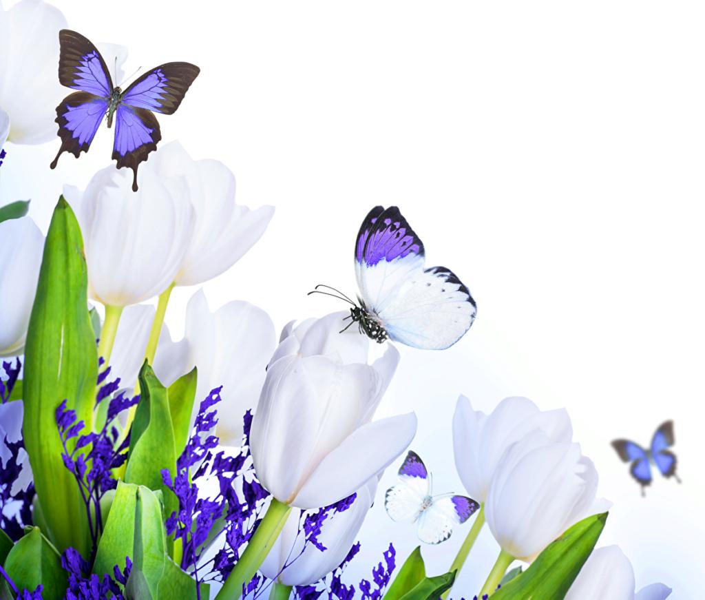 Leptiri i ostali insekti Tulips15