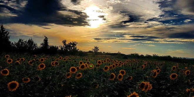 Suncokreti-sunflowers - Page 29 Vreme-10