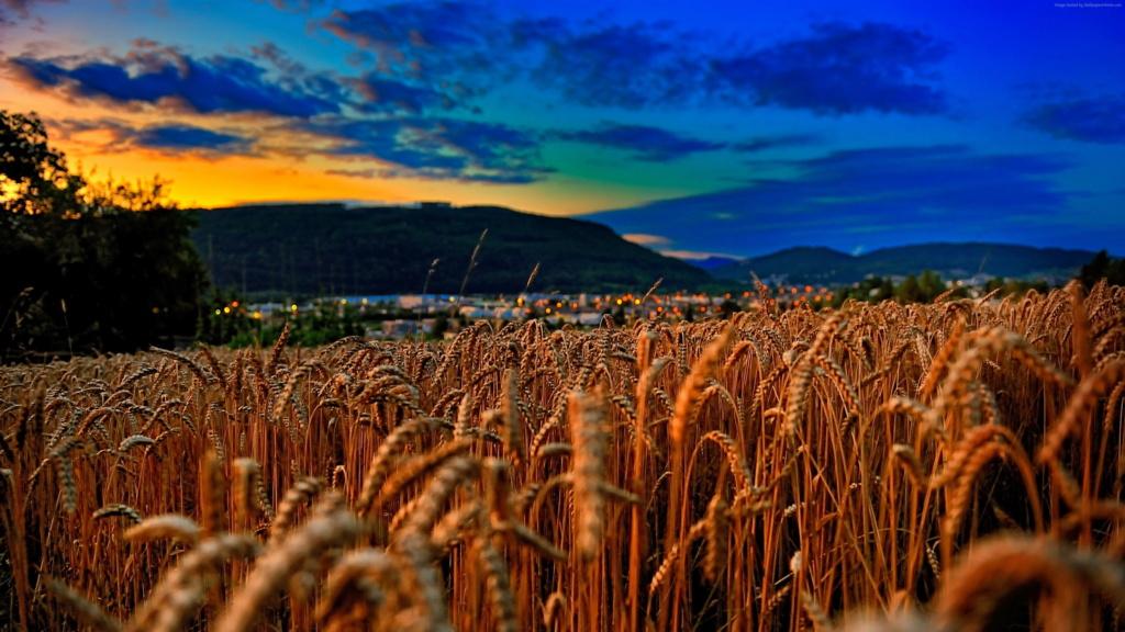 Žitna polja - Page 15 Wheat-11
