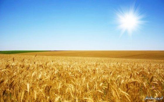Žitna polja - Page 21 Wheat-13
