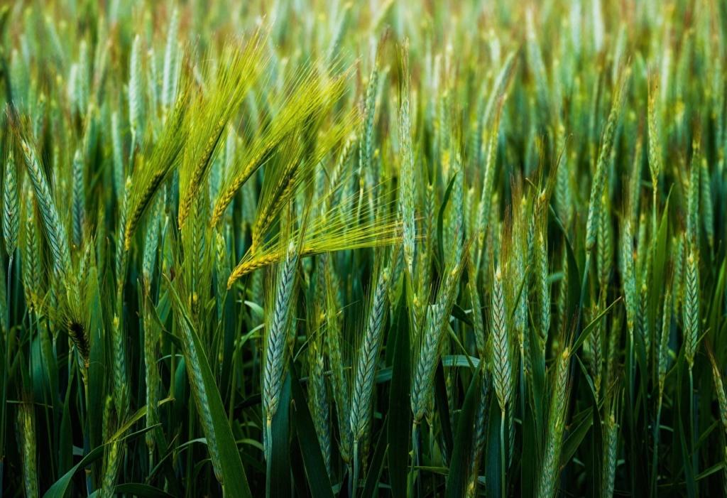 Žitna polja - Page 18 Wheat_12