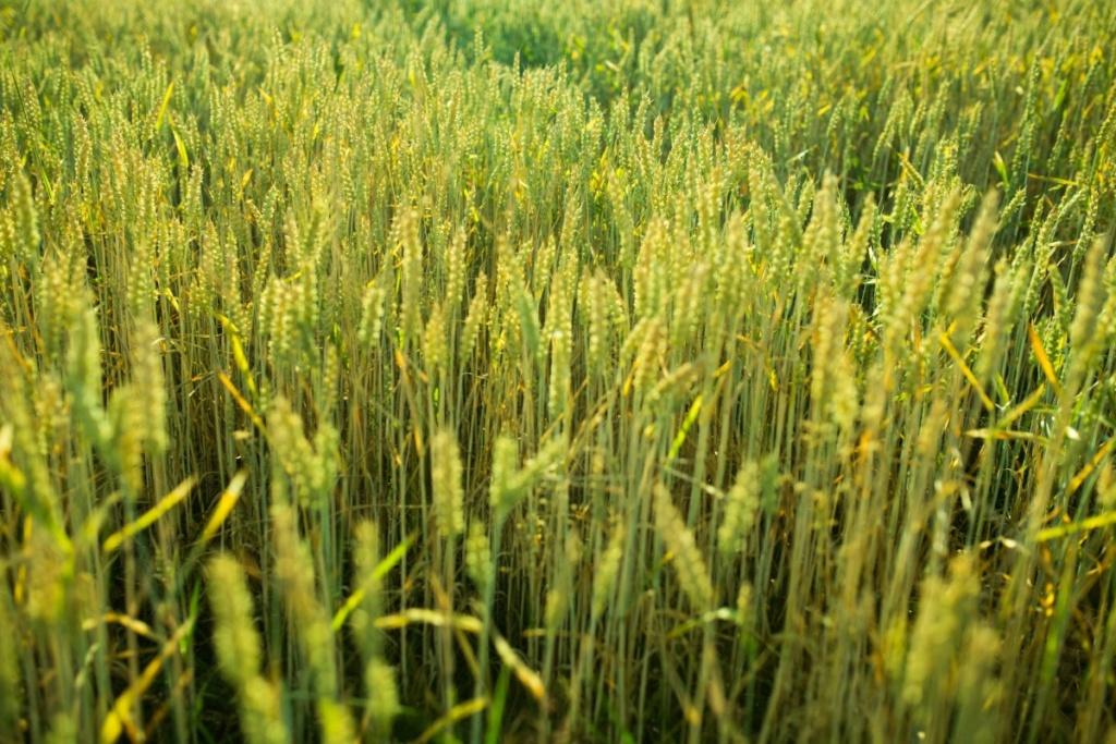 Žitna polja - Page 21 Wheat_18