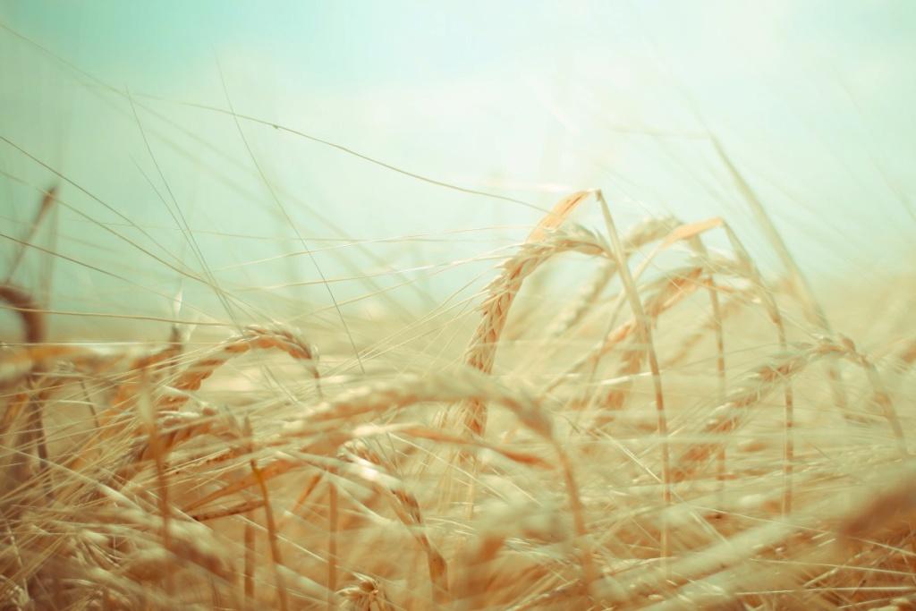 Žitna polja - Page 21 Wheat_19