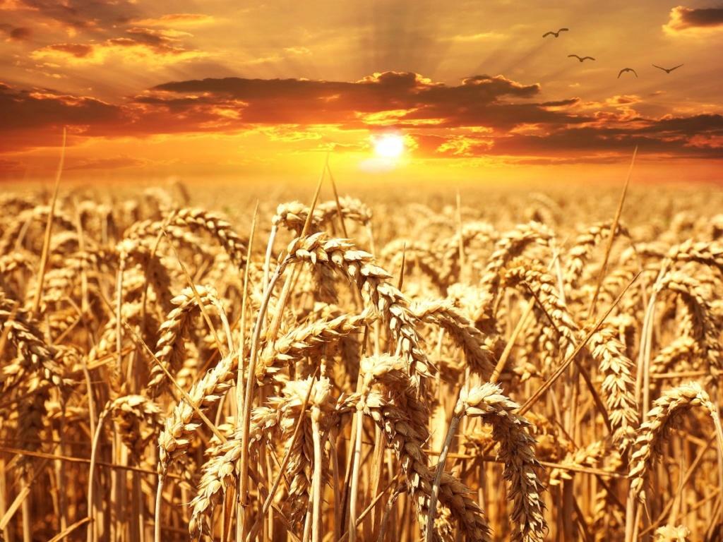 Žitna polja - Page 21 Wheat_20