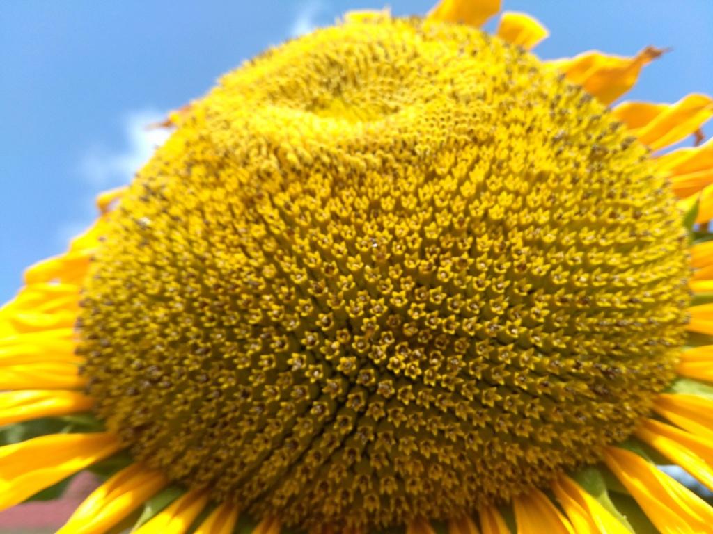 Suncokreti-sunflowers - Page 29 Wkgxz910