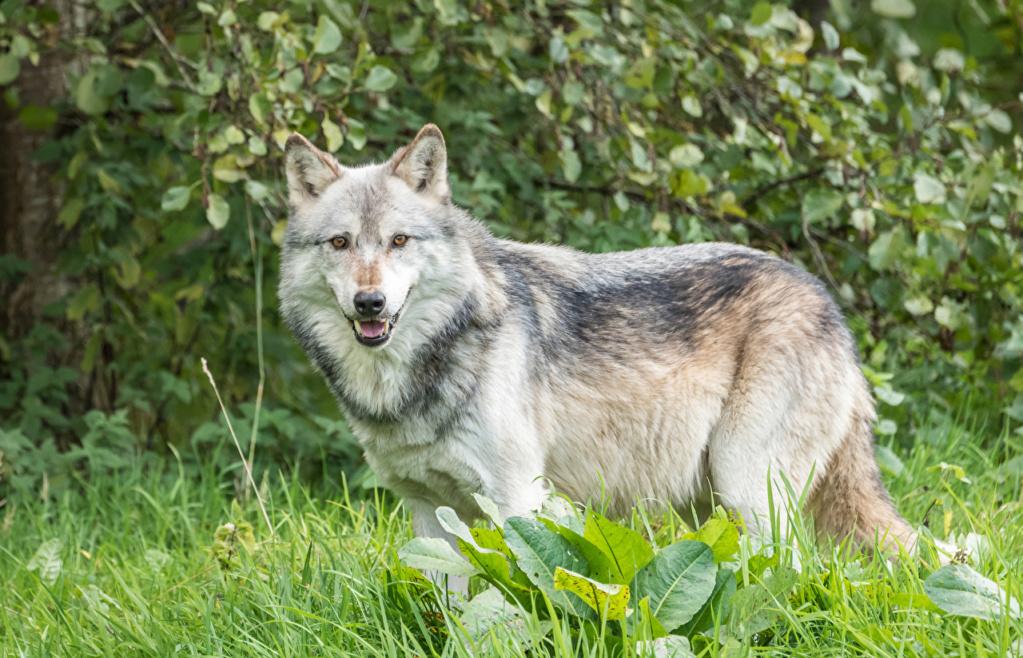 Divlje životinje Wolves14