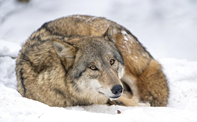 Divlje životinje - Page 3 Wolves15