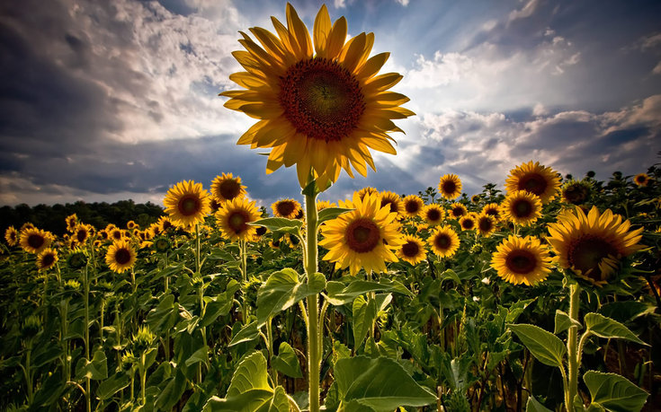 Suncokreti-sunflowers - Page 33 X11