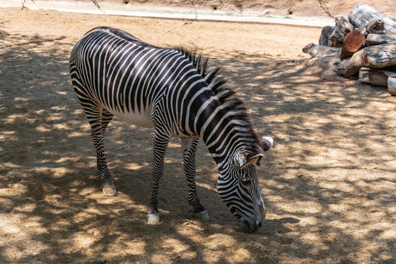 Divlje životinje - Page 3 Zebras12
