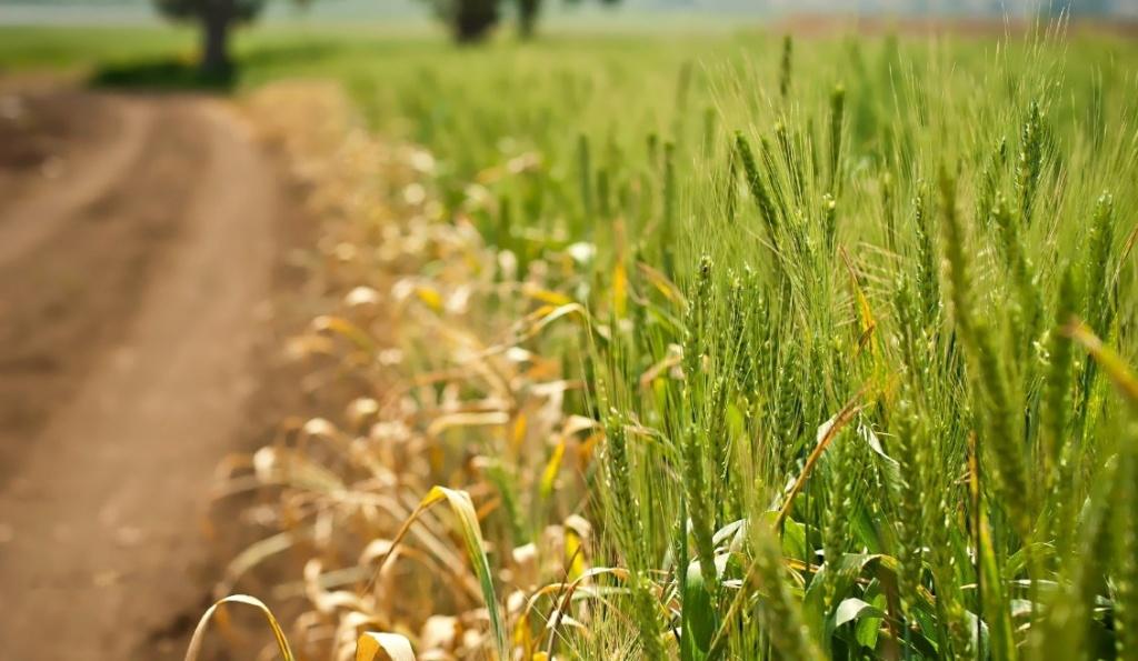 Žitna polja - Page 18 Zeleny10