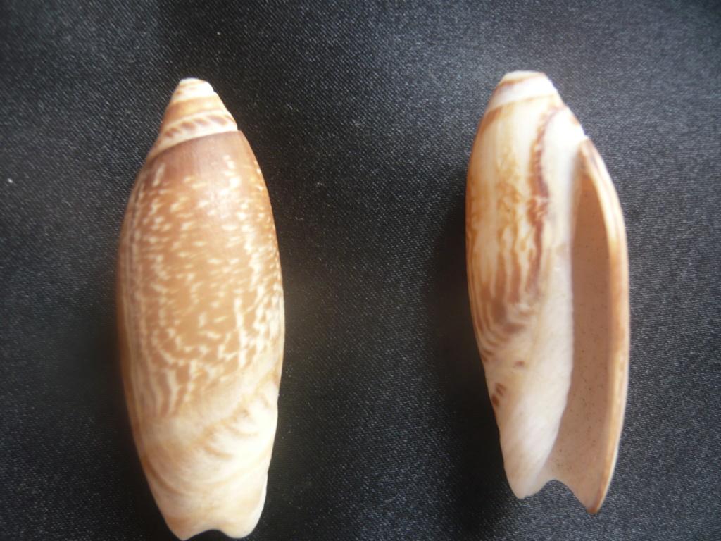 Agaronia acuminata Lamarck, 1811 P1060110
