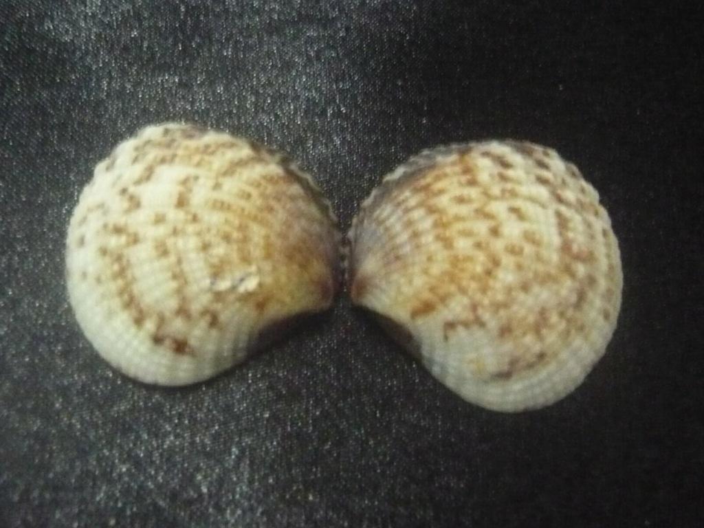 Gafrarium pectinatum P1060315