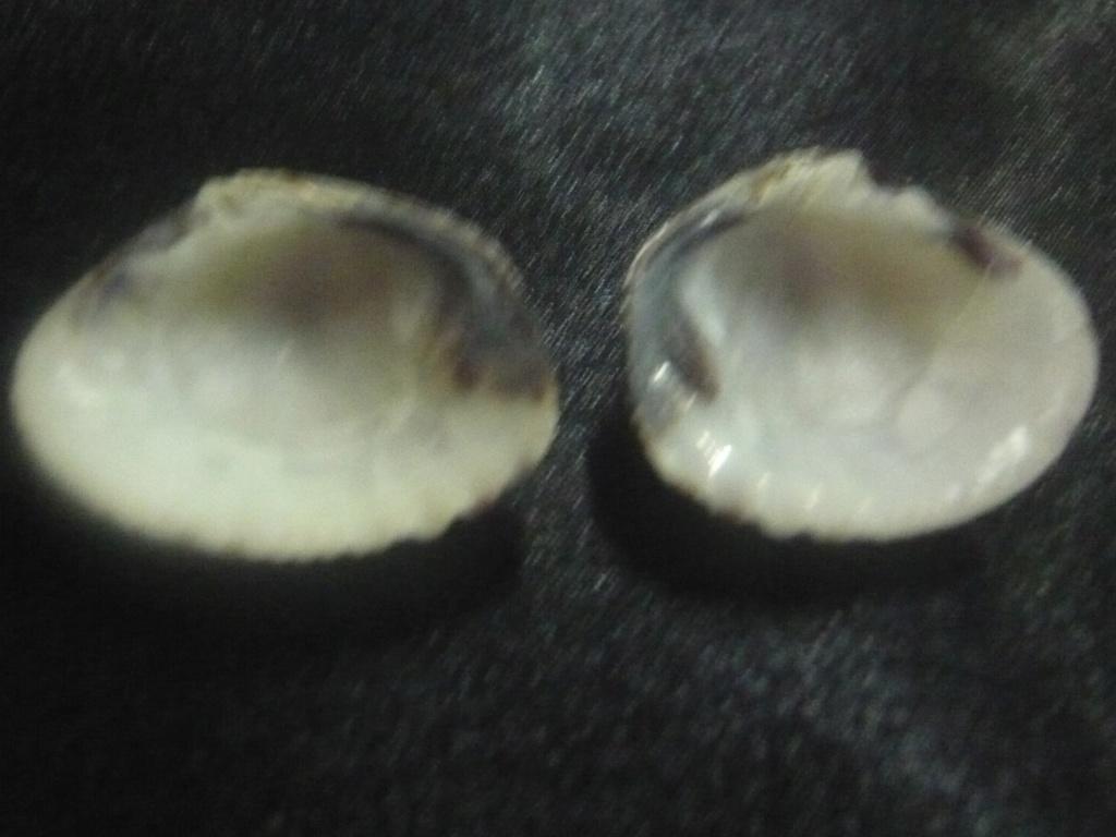 Gafrarium pectinatum P1060316