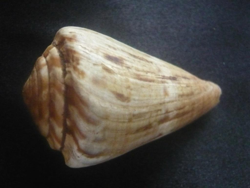 Conus (Rhizoconus) namocanus Hwass in Bruguière, 1792 P1060322