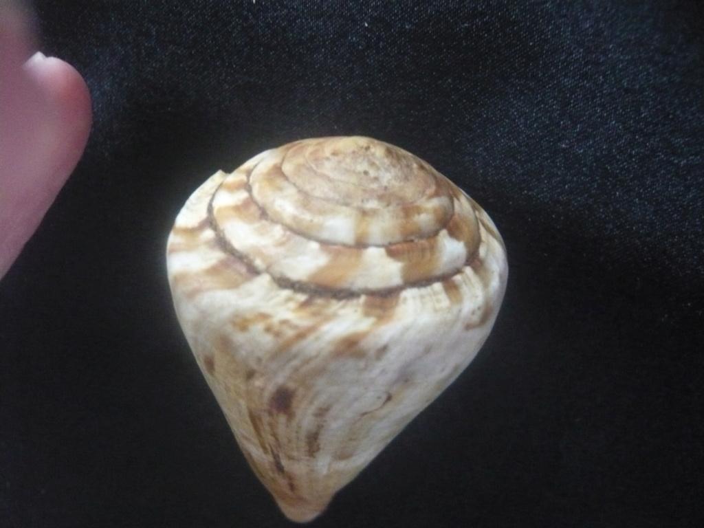 Conus (Rhizoconus) namocanus Hwass in Bruguière, 1792 P1060324