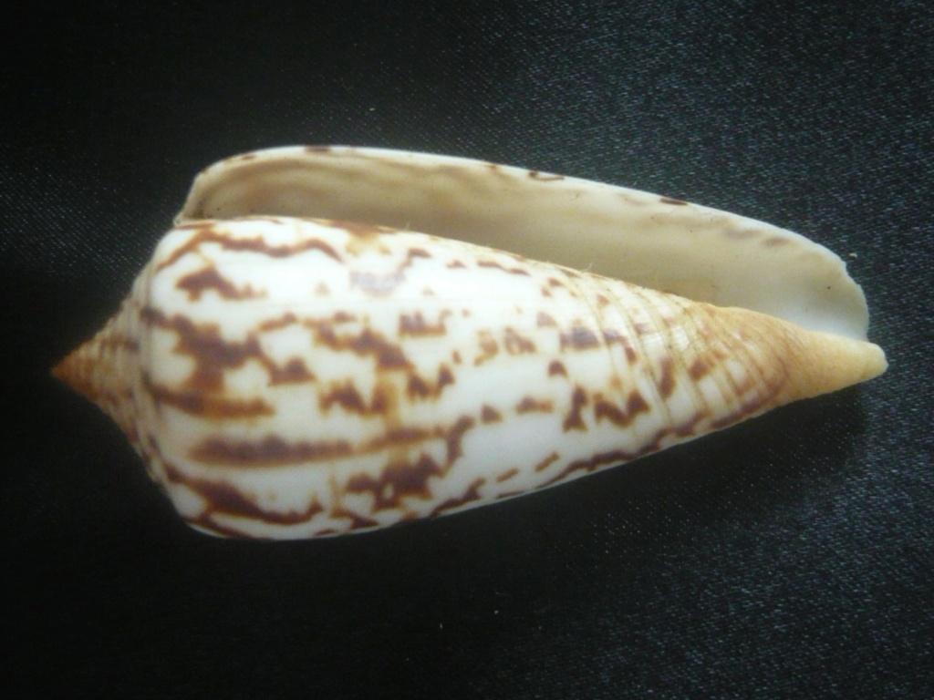 Conus janus (Hwass in Bruguière, 1792) P1060325