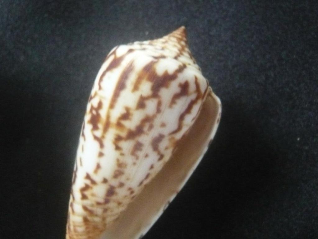 Conus janus (Hwass in Bruguière, 1792) P1060327