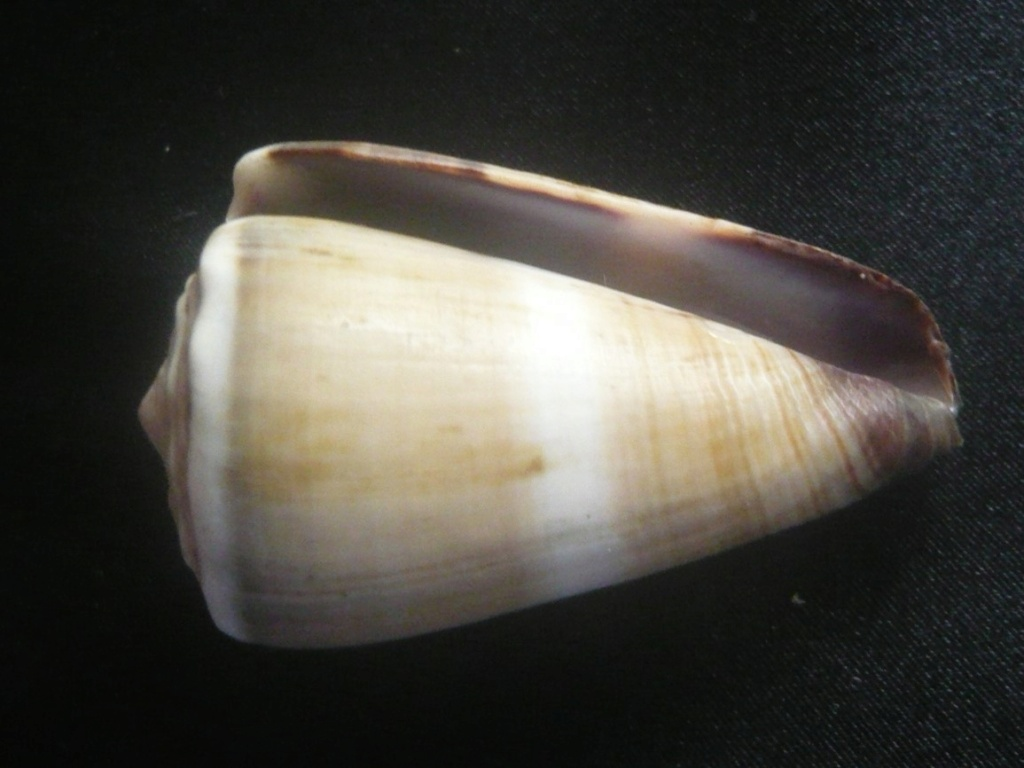 Conus lividus Hwass in Bruguière, 1792 P1060337