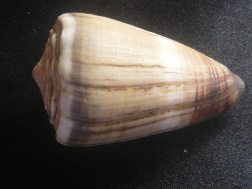 Conus lividus Hwass in Bruguière, 1792 P1060338