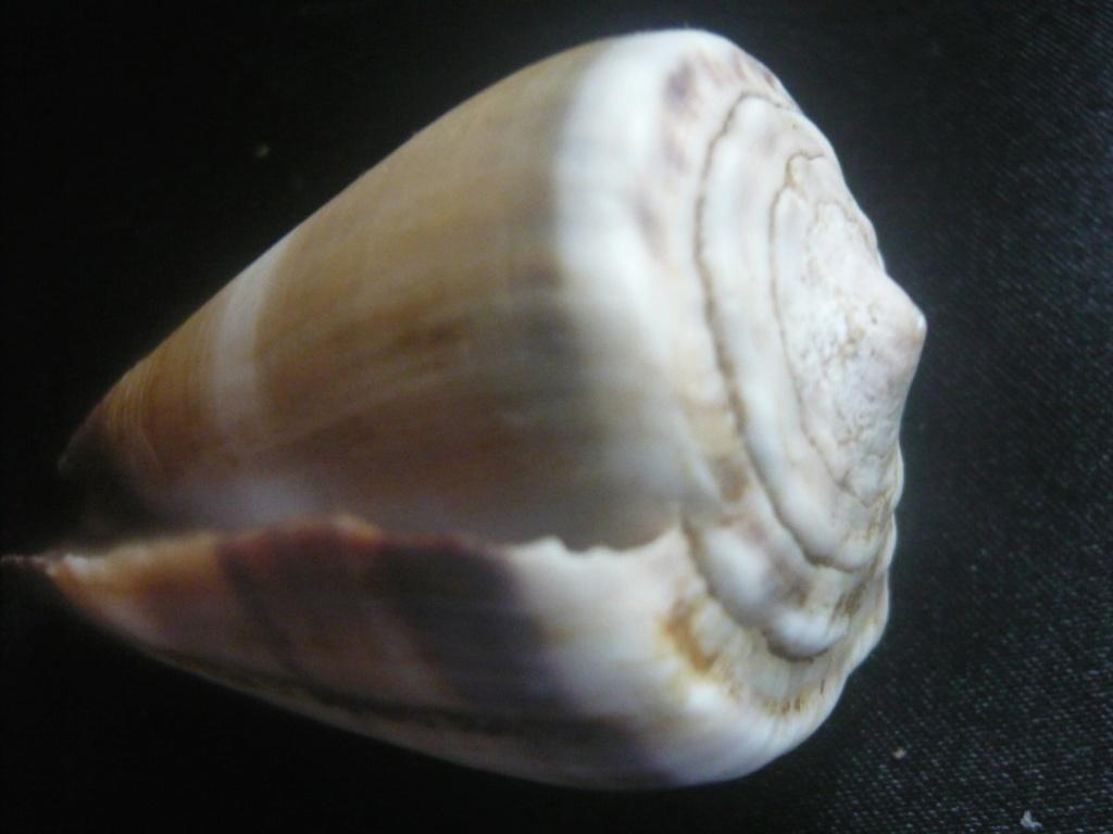 Conus lividus Hwass in Bruguière, 1792 P1060339