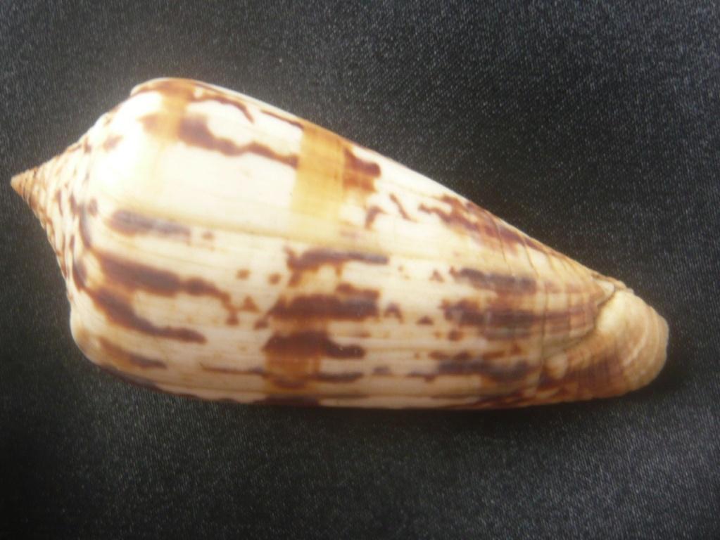 Conus janus (Hwass in Bruguière, 1792) P1060344