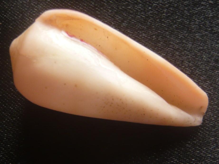 Conus solangeae Bozzetti 2004 P1060414