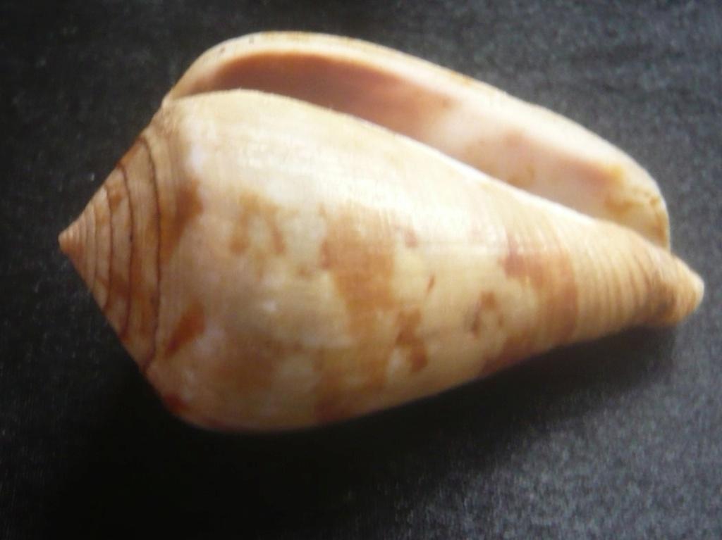 Conus (Chelyconus) ermineus inquinatus Reeve, 1849 P1060416