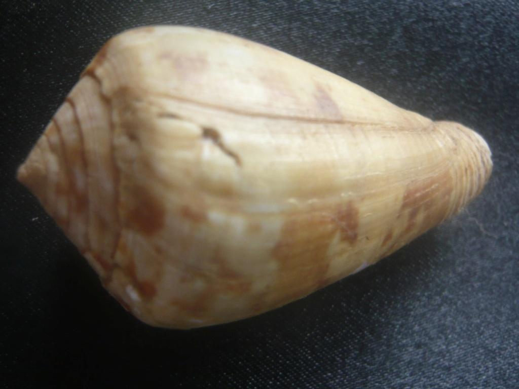 Conus (Chelyconus) ermineus inquinatus Reeve, 1849 P1060417