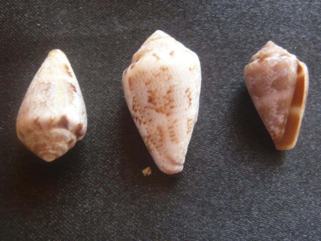 Conus  ventricosus P1060420