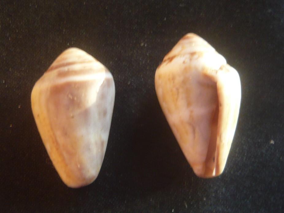 Conus_ventricosus P1060433