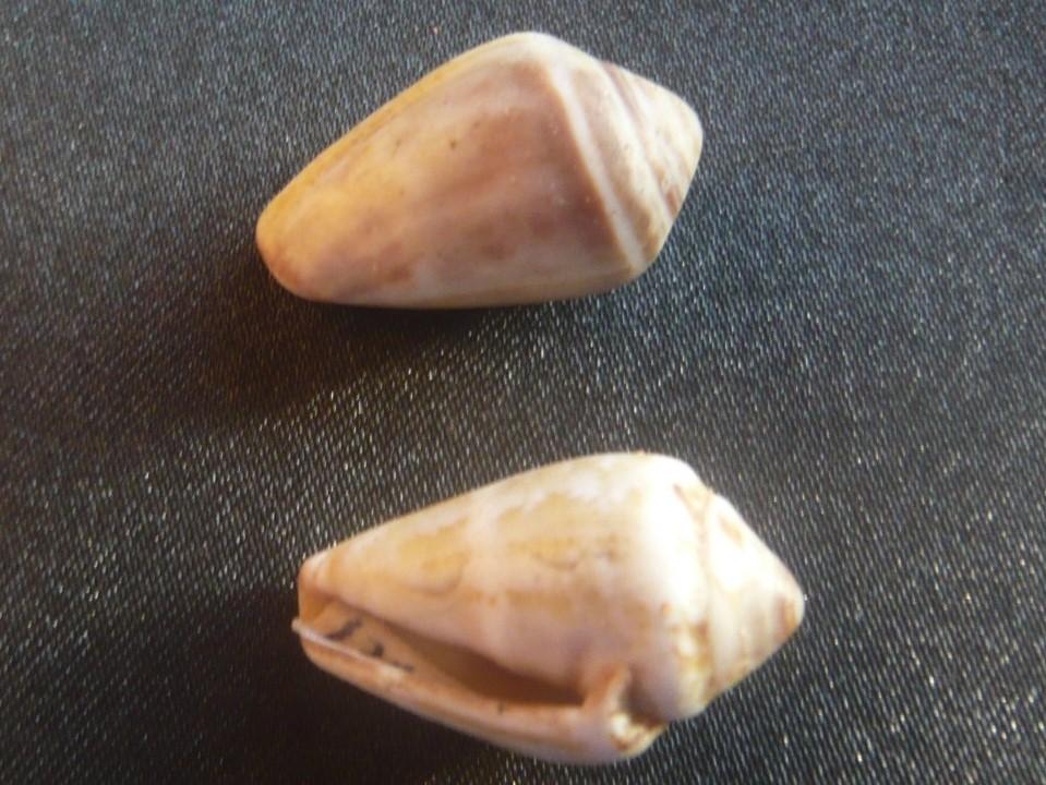 Conus_ventricosus P1060434