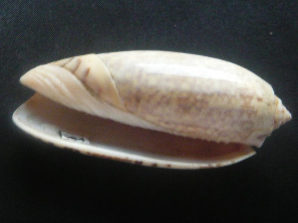 Oliva tremulina (Lamarck, 1811) P1060435