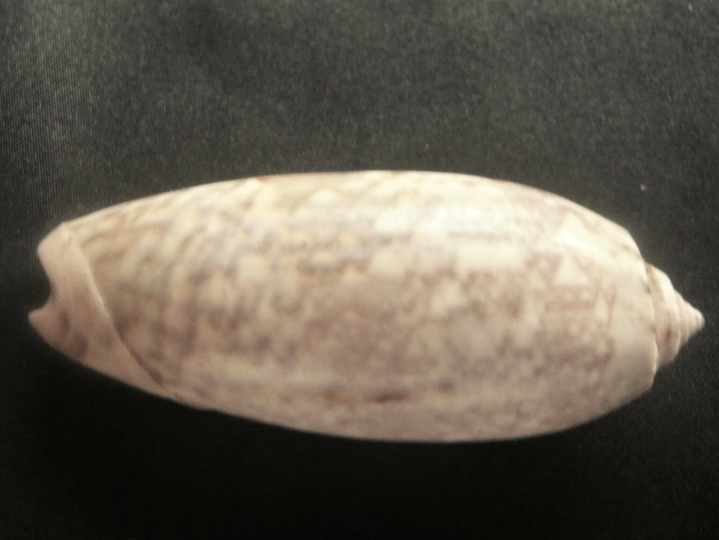 Oliva tremulina (Lamarck, 1811) P1060436