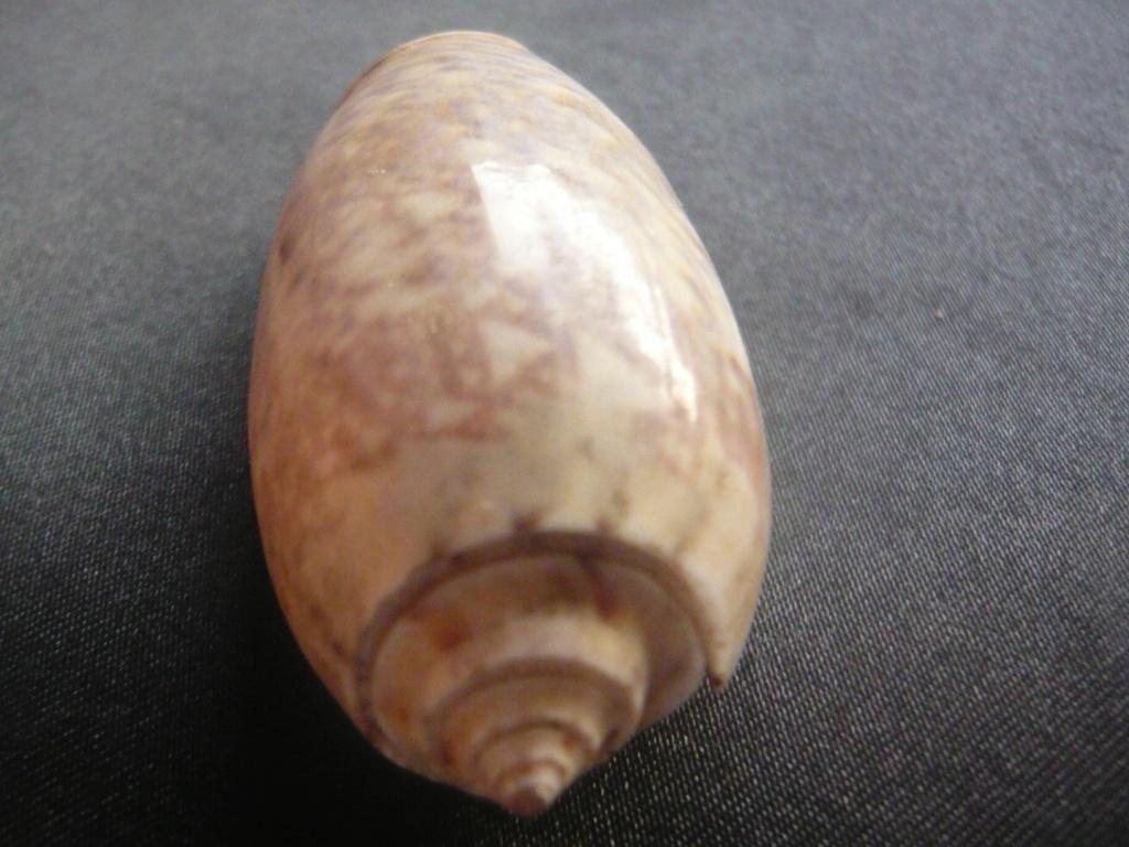 Oliva tremulina (Lamarck, 1811) P1060437