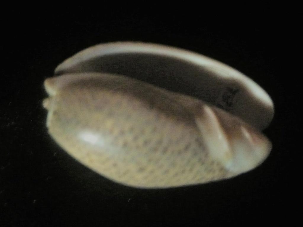 Carmione bulbosa (Röding, 1798) P1060439