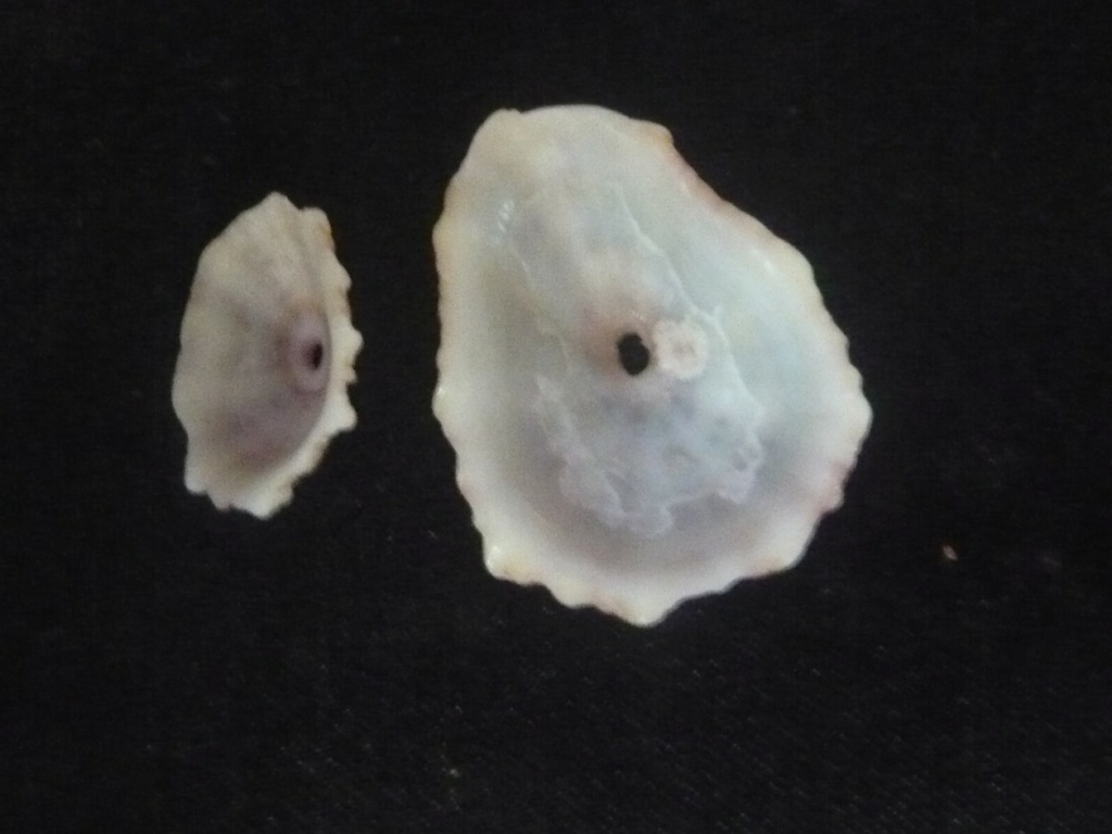 Fissurella angusta (Gmelin, 1791) P1060448