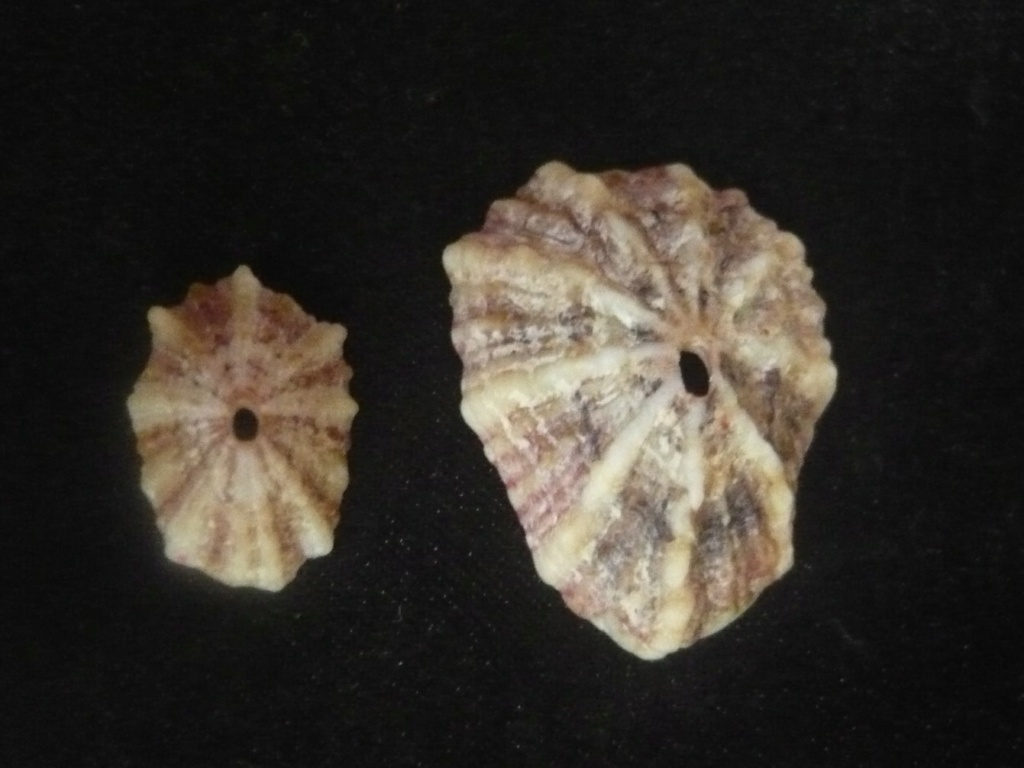Fissurella angusta (Gmelin, 1791) P1060449