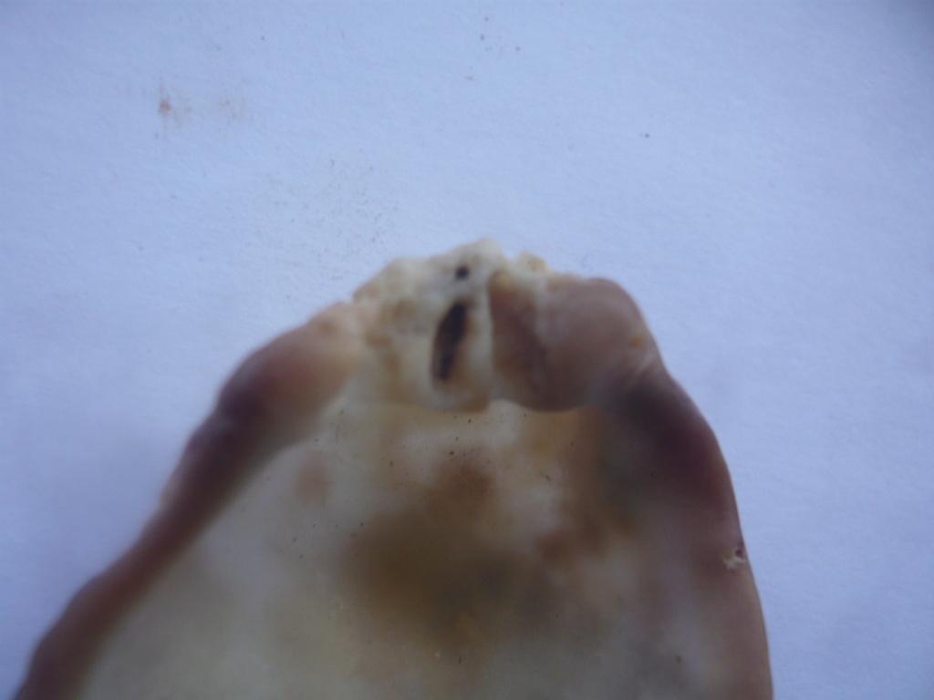 Spondylus_sp._malgache_peut_être_nicobaricus P1060632