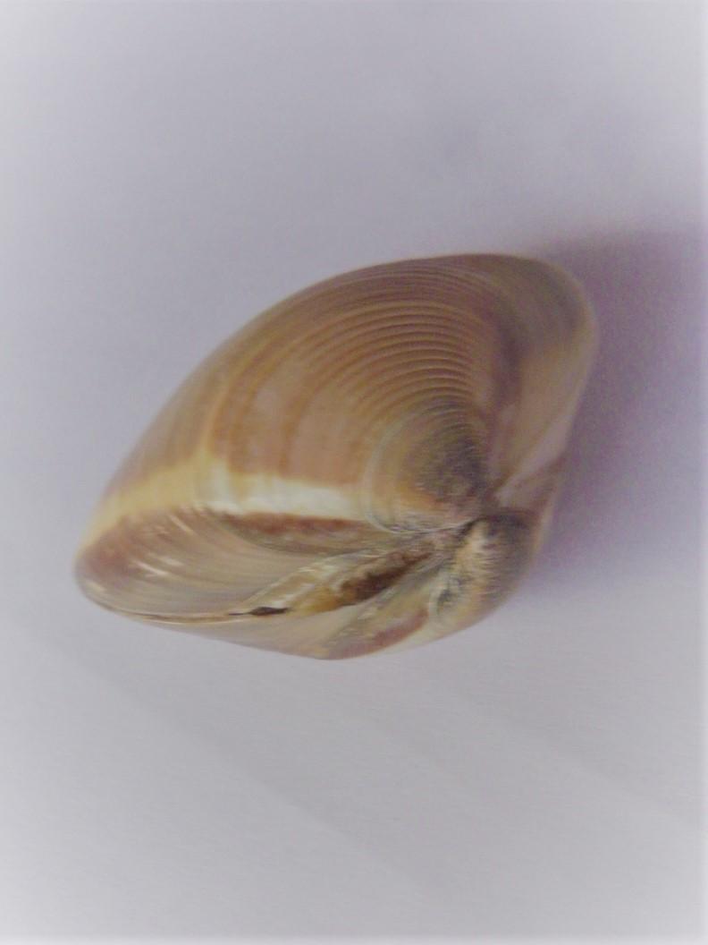 Meretrix lyrata - (G. B. Sowerby II, 1851)  P1060713