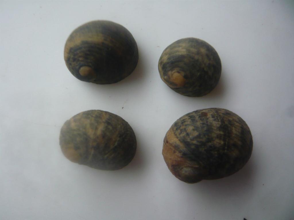 Nerita senegalensis - Gmelin, 1791 P1060812