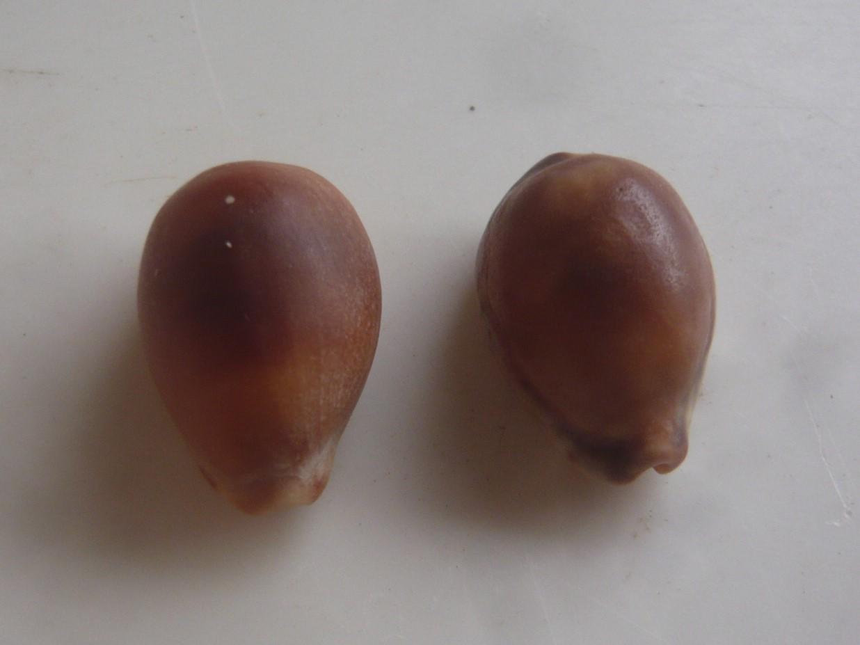 Zonaria zonaria -gmelin, 1791 P1060864