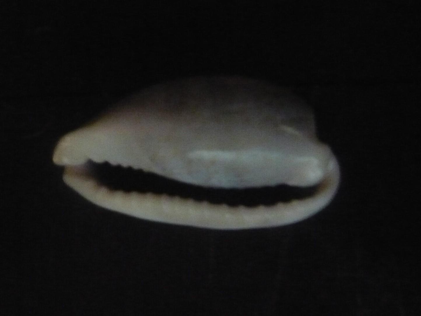 Erronea errones -Linnaeus,1758- P1060912