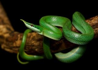 Taille de terrarium pour Gonyosoma Boulengerie 34086f10