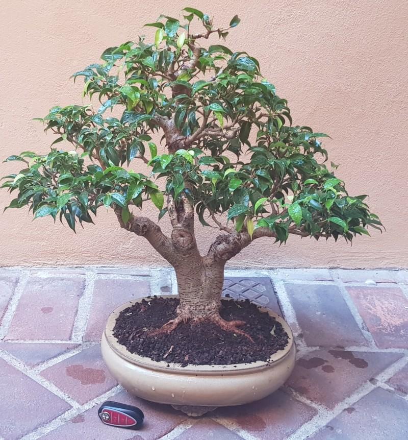 Ficus Benjamin 20181117