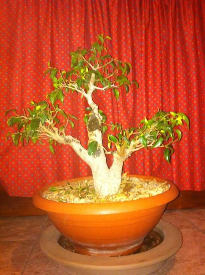 Ficus Benjamin 20181118