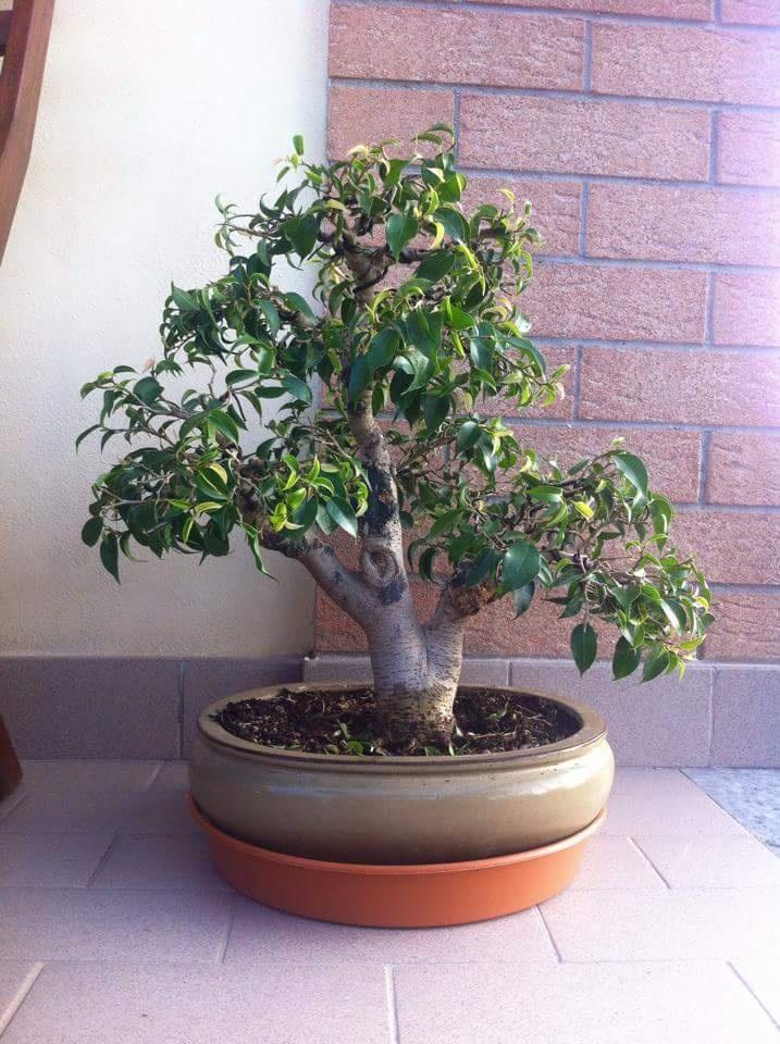 Ficus Benjamin 20181122