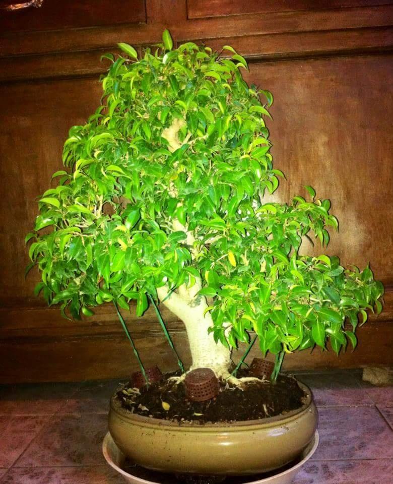 Ficus Benjamin 20181123