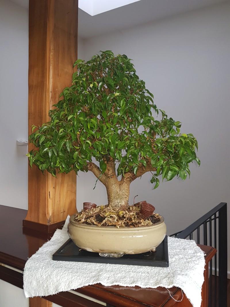 Ficus Benjamin 20181124