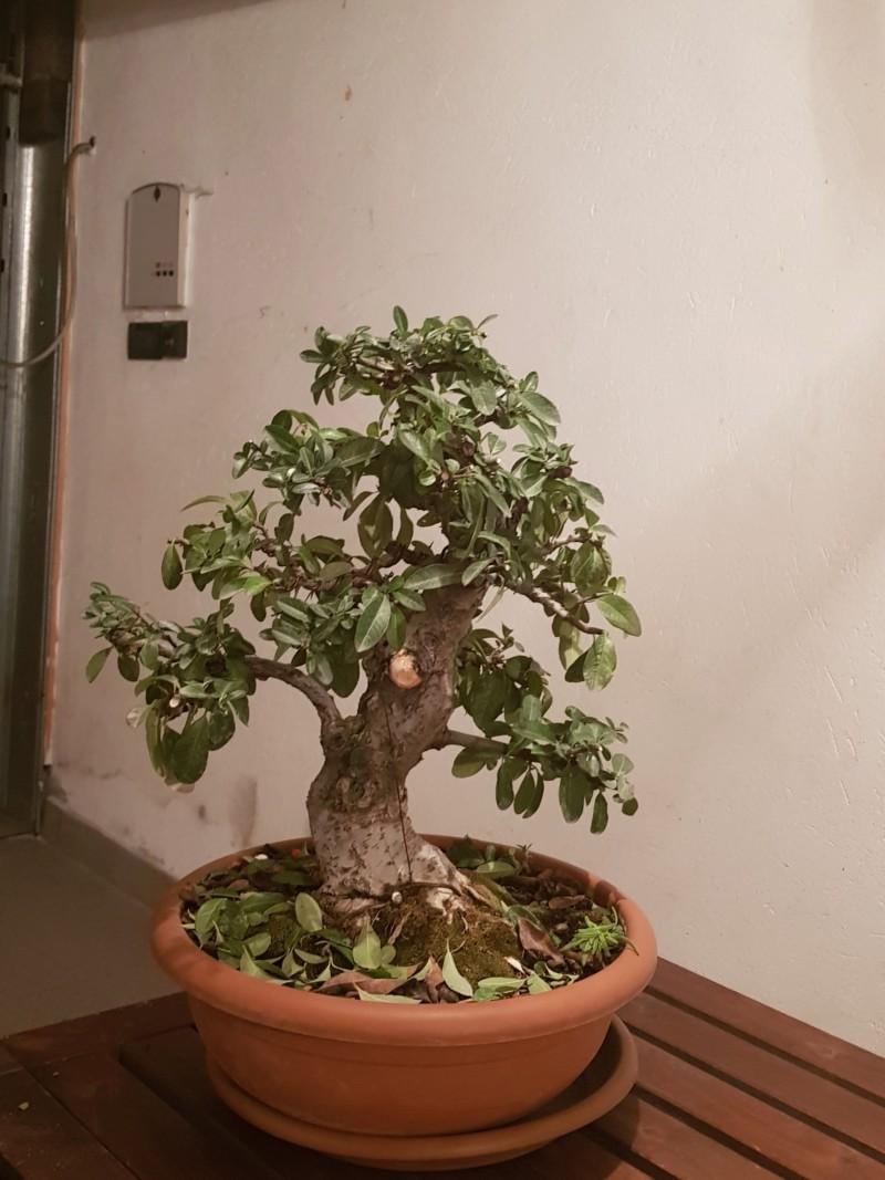 pyracantha 20181130