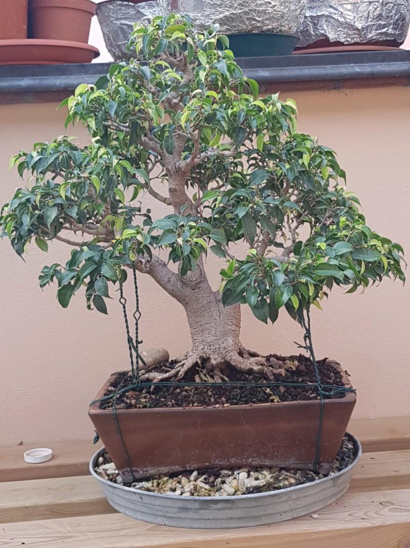 Ficus Benjamin 20190911
